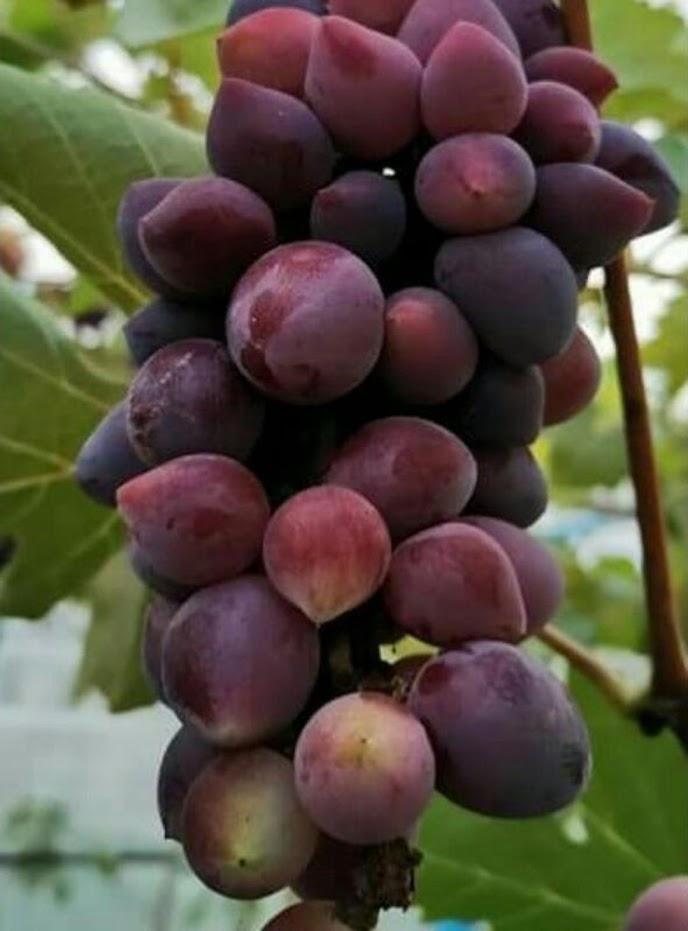 Bibit Anggur Import Beauty Krasotka Tanjungbalai