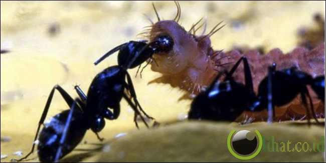 Sang Penipu Semut