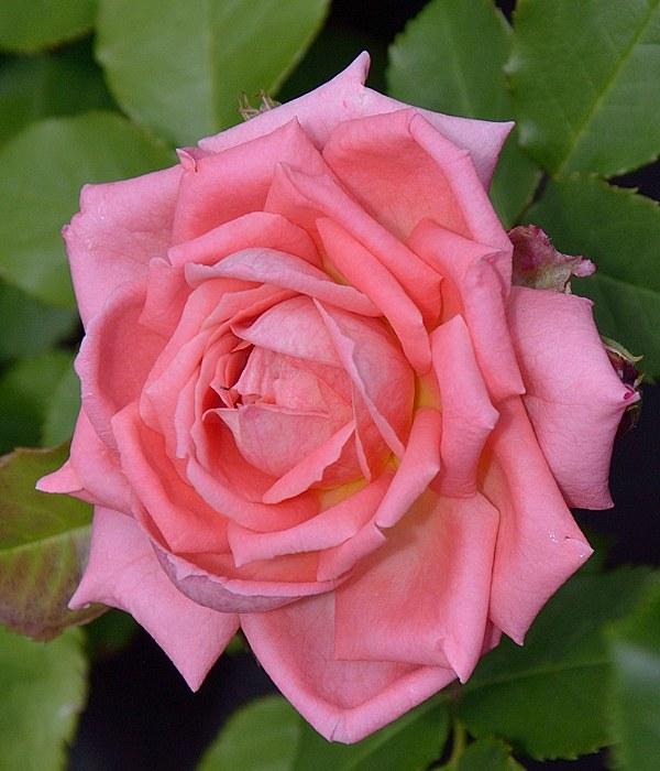 Fleurs en Seine сорт розы фото саженцы купить Минск