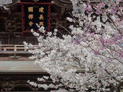 Someiyoshino-zakura ((Prunus yedoensis) flowers: Kencho-ji