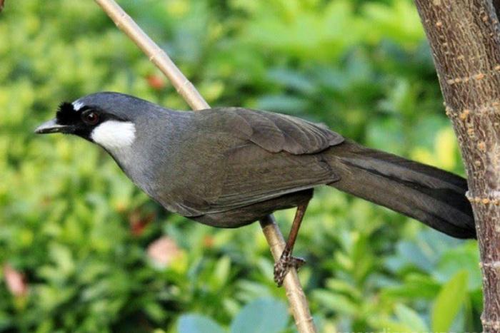 Cara Memilih Burung Poksay Bakalan yang Baik dan Benar, burung, burung bakalan, hewan peliharaan, nama latin burung, poksay, poksai, white crested laughingthrush, harga burung poksay gacor