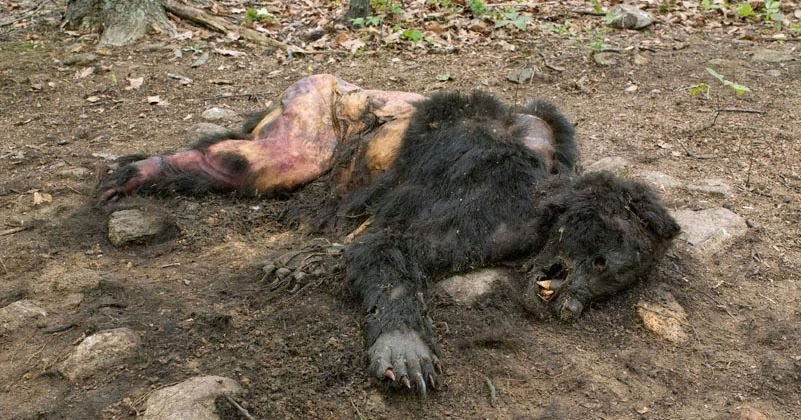 "Bigfoot Evidence: Newly Discovered ""ManBearPig ... 