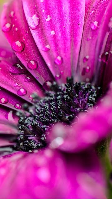 Wallpaper purple flower macro water drops