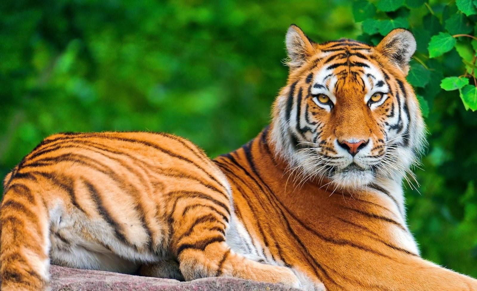 Tiger Online