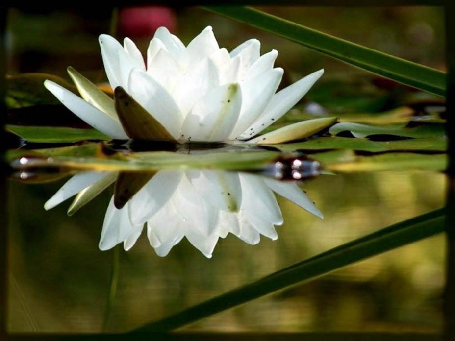 Цветок лотоса: Картинки лотоса