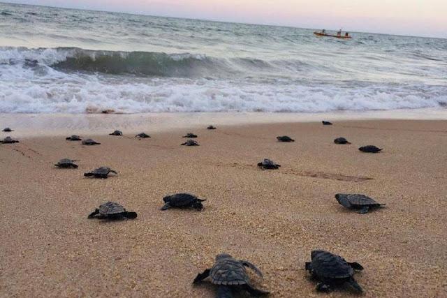 السحالف على الشواطىء