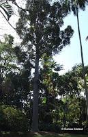 Queensland kauri tree, Foster Botanical Garden - Honolulu, HI