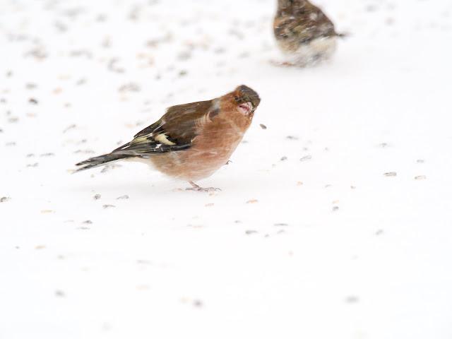 Buchfink im Schneesturm