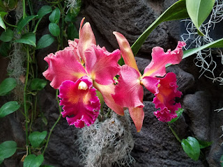 Magenta orchids, Kahala Hotel, Oahu, HI