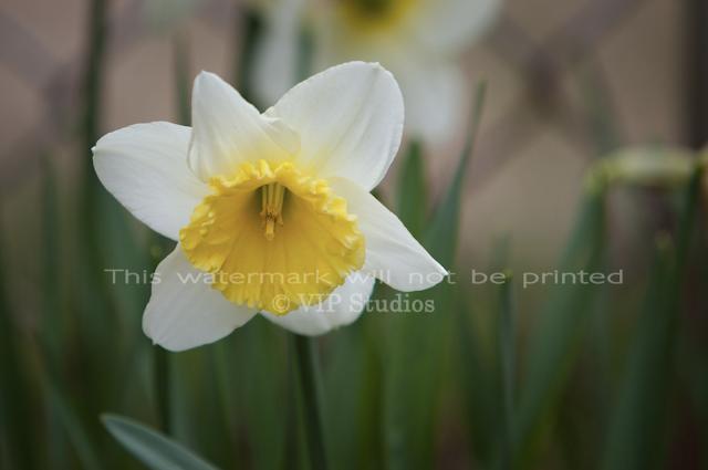 Daffodil 5985 Photo Print