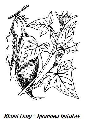 Hình vẽ Khoai Lang - Ipomoea batatas - Nguyên liệu làm thuốc Nhuận Tràng và Tẩy