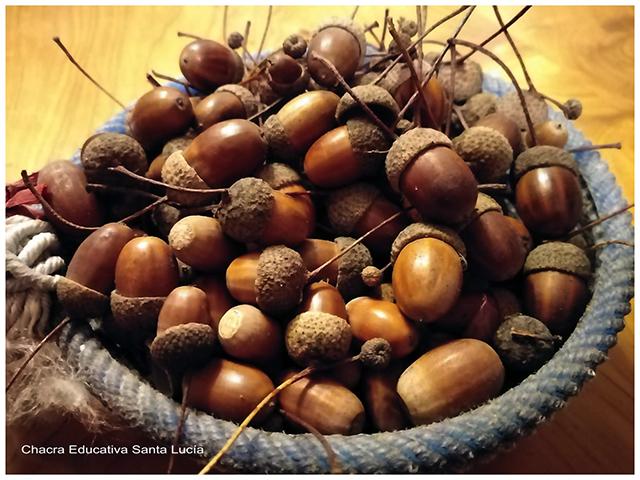 Roble, su fruto-Chacra Educativa Santa Lucía