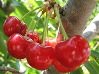 cherry - la cereza - Prunus
