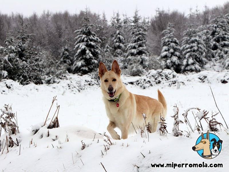 Can de Palleiro en la nieve de O Cebreiro, perro en la nieve