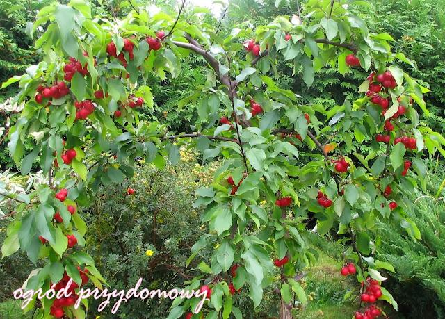 rajkie jabłuszko, rajskie owoce, rajskie drzewko, ogród przydomowy