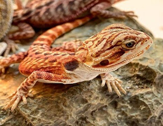 What does mean you dream about Lizards?