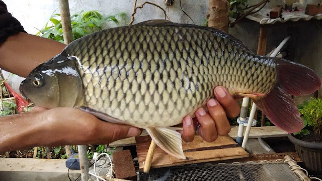 Resep Umpan Juara Galatama Ikan Mas