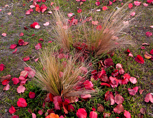 Decorative Grass clumps filled with accumulated red leaves