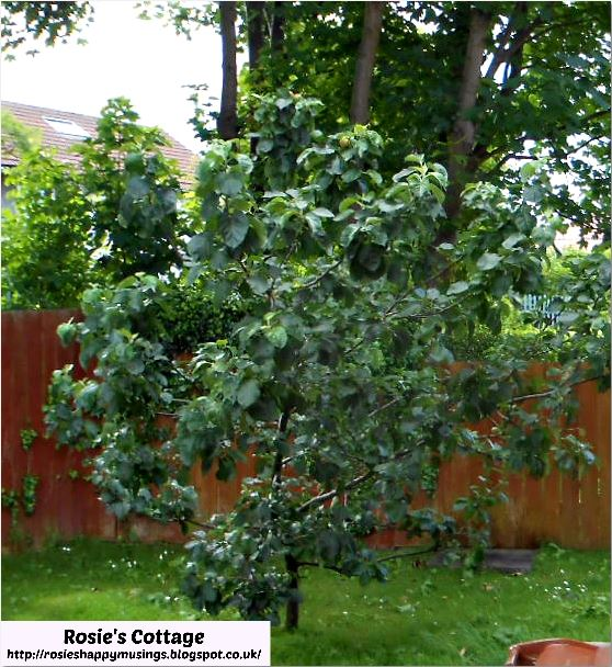 Our apple tree in the garden