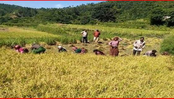 बिगड़ते मौसम के बीच धान मिजाई में जुटे किसान।