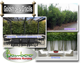 Bamboo creations victoria have gracilis and goldstripe bamboo on sale prior to Christmas 2019