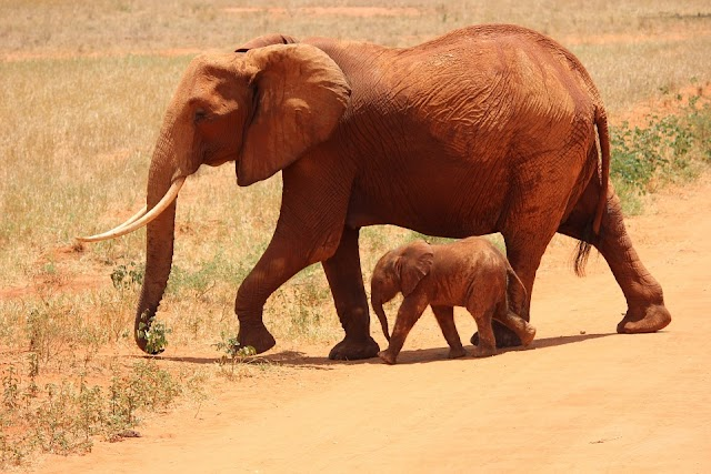 TYPES OF ELEPHANTS and ELEPHANT HABITAT