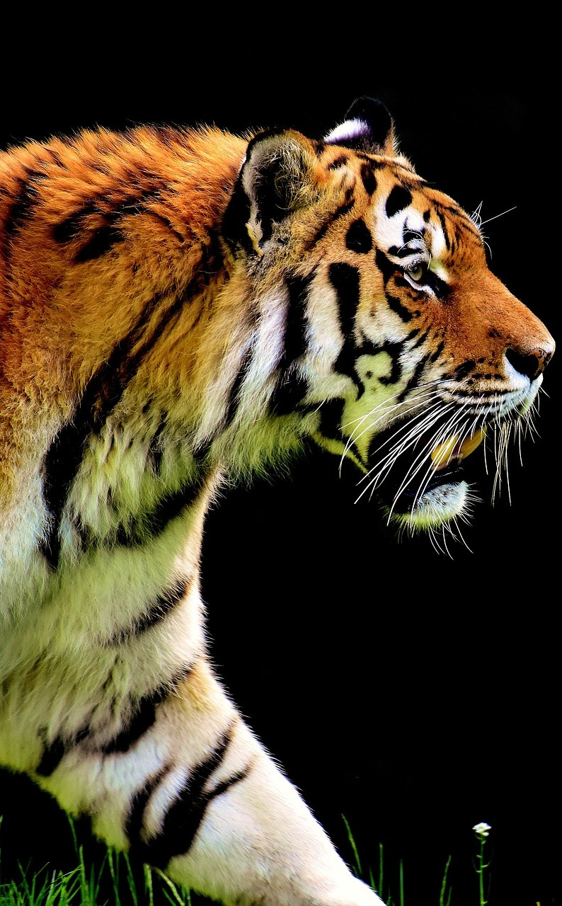 Amazing photo of a tiger.