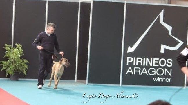 Cachorro dogo aleman dorado, leonado