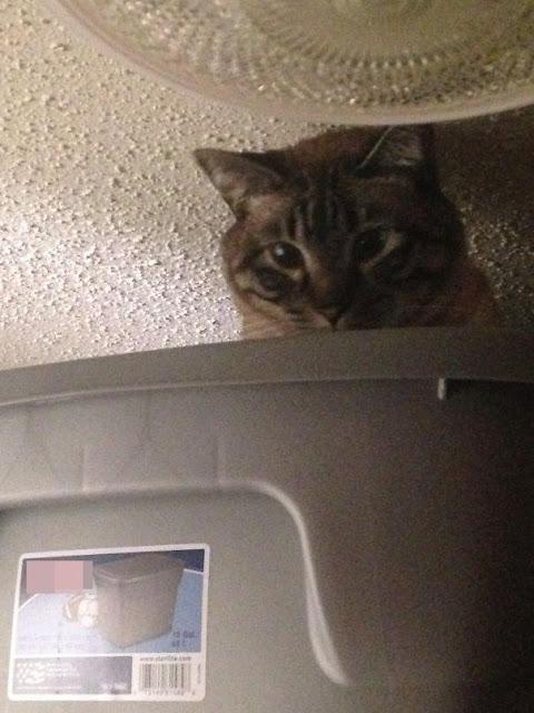 Những chú mèo không hiểu vì sao mình mắc nạn