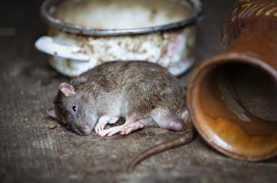 Tips Ampuh Mengusir Tikus Curut di Rumah