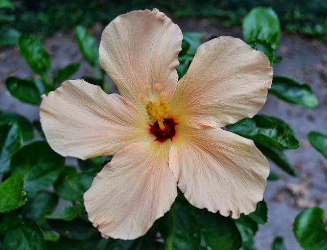 tropical hibiscus, http://growingdays.blogspot.com