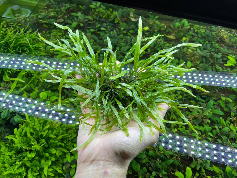 Dương xỉ lá kim của Bucep Việt