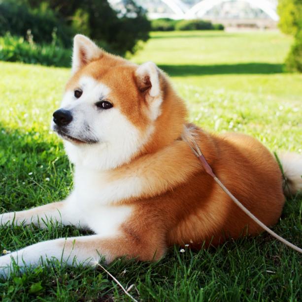 Dogs, Dog Breeds, Akita,