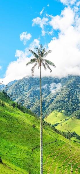 Tall palm tree wallpaper