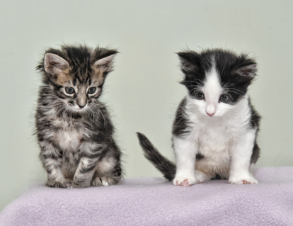 one tabby kitten and one black and white kitten both with Syndactylism