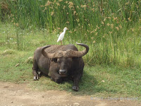 Cattle egret on African buffalo,justifying its name - Tanzania, Jan. 2018 - © Daniel St-Laurent