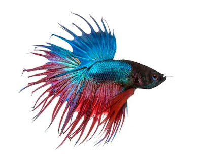 Female Crowntail Betta Fish