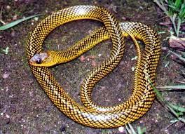 cobras mais bonitas da terra