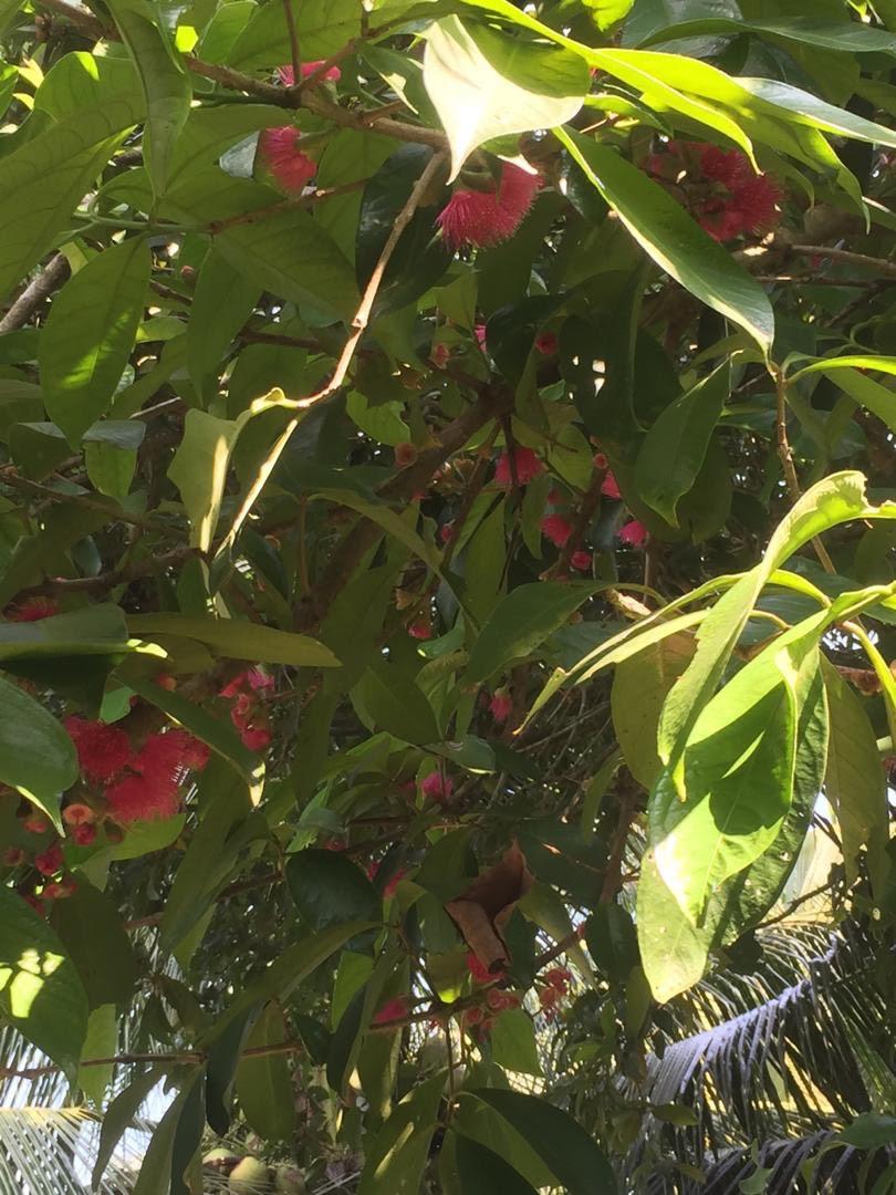 hasil bumi, berbudi pada tanah, rezeki dikongsi bersama, buah-buahan tempatan, tanaman kampung
