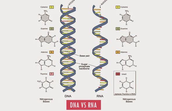 Perbedaan DNA dan RNA dalam Bentuk Tabel