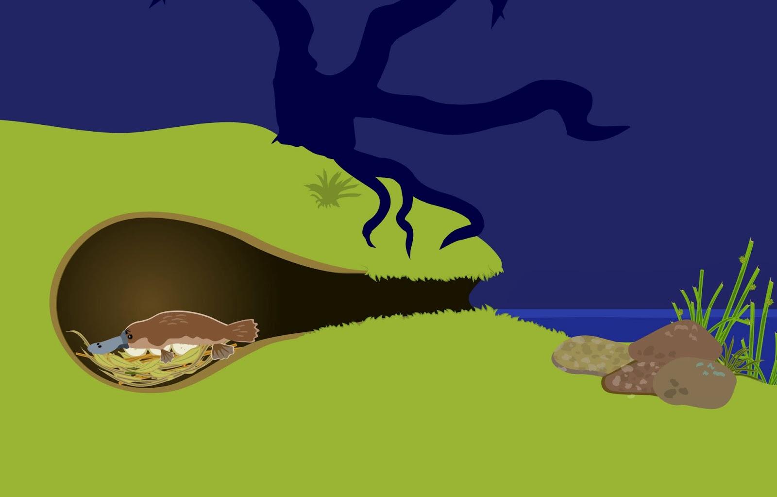 platypus life cycle diagram common wiring diagrams nesting burrow