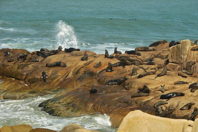 Leões-marinhos em Cabo Polônio, no Uruguai.
