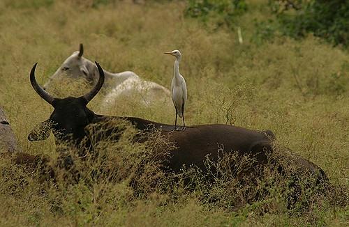 Old European Culture Bull And Bird