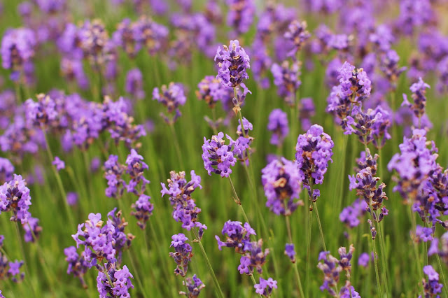 Lavender on the roof - London lifestyle blog