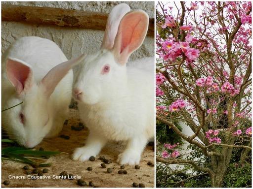 Conejos / Lapacho rosado - Chacra Educativa Santa Lucía