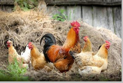Ayam peliharaan habitatnya di pemukiman / kandang - berbagaireviews.com