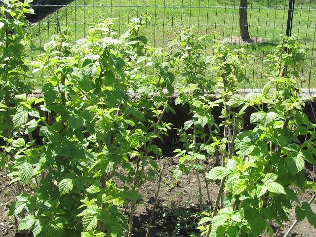 Piante di Rubus idaeus