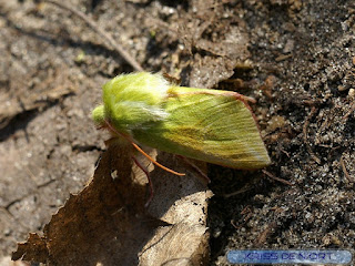 Pseudoips prasinanus - Halias du Hêtre