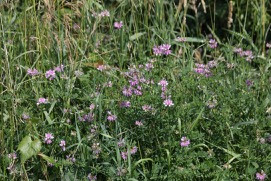 crown vetch in bloom