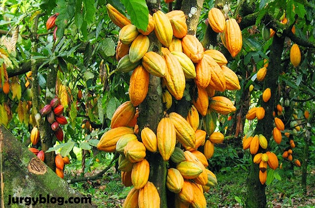 A complete guide on how to start cocoa farming in Nigeria